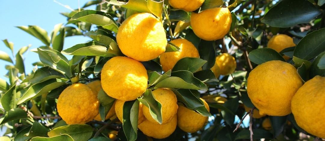 Yuzu - aromatičen križanec med limono in sladko pomarančo